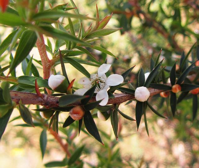 Melaleuca alternifolia blühte