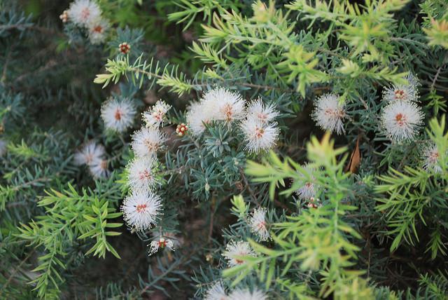 blühender teebaum